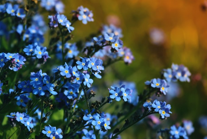 planting forget-me-nots