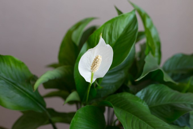 plant a peace lily