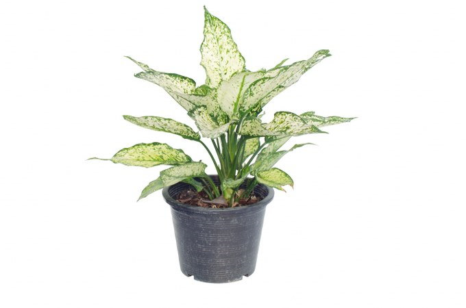 growing aglaonema