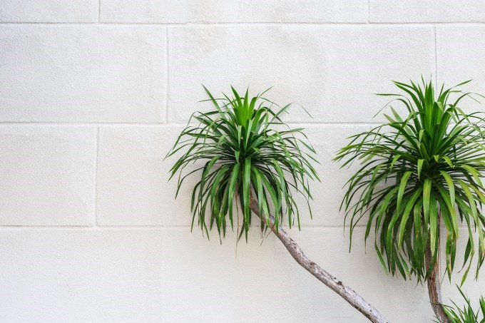growing a dracaena